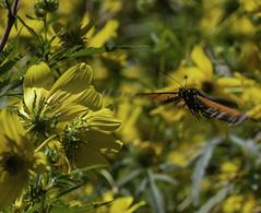 MonarchButterfly_SAF6540 (sara97) Tags: danausplexippus butterfly copyright©2018saraannefinke endangered insect missouri monarch monarchbutterfly nature photobysaraannefinke pollinator saintlouis towergrovepark inflight