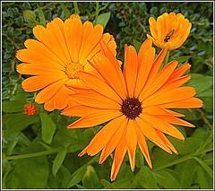 Orange Coloured Marigolds .. (** Janets Photos **) Tags: uk flowers flora plants nature colours marigolds macro closeups