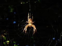 Garden Spider in her web (sam2cents) Tags: spider garden araneusdiadematus gardenspider crossspider nature wildlife wicklow ireland