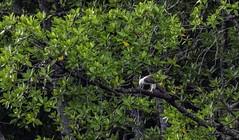 20180902-0I7A9538 (siddharthx) Tags: 2018 august2018 bwcpl beautifulbirds bird birdwatching birding birdinginthewild birdsinthewild blackstone3stopnd blackstone6stopnd blackstonefilters bluehour boat breakthroughphotography breakthroughphotography2stopgnd breakthroughphotography3stopgnd breakthroughphotographyfilter canon canon7dmkii closerange cottoncarrierg3 dawn dawntilldusk ef100400f4556isii ef100400mmf4556lisiiusm ef1635f4lis forest goldenhour hide islandofeagles kesslerkwik landscape landscapes langkawi lowlight my malaccastraits malaysia novoexplora novoexploramp20 novomonopod pristine promediageartr424lpmgprostix pulaulangkawi rainforest sachtlerfsb8t shootingfromaboat sunrise sunset toughlight trek weekendtrips wild wildbirds wildlife winecountrycamera winecountrycameracpl winecountrycamerafilters kedah whitebreastedseaeagle whitebelliedseaeagle eagle eaglesoflangkawi birdofprey