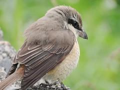 DSC01995 (phenixliu68) Tags: shrike bird nature 紅尾伯勞 伯勞 候鳥 動物 戶外 野生 生態攝影