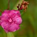 Oleander after Rain