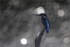 Alcedo Atthis (Francesc //*//) Tags: alcedoatthis blauet blavet arner martinet terrola torrolera reiet commonkingfisher martínpescador martinpêcheurdeurope flix au animal ave bird birds pájaro ocell oiseau natura naturaleza nature