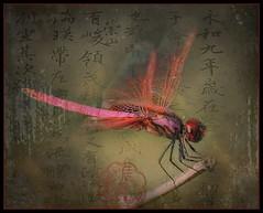 Red Dragonfly (ulli_p) Tags: asia artofimages aworkofart awardtree colours dragonflys flickraward insects macro nature odonata red southeastasia thailand texture textured texturedphoto canon450d