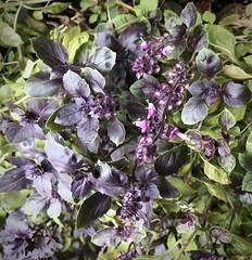 B Is For Basil.🌱 That's Good Enough For Me ❣️ (Chic Bee) Tags: basil redrubinbasil edible flowers leaves garden flowerpot tucson arizona usa herb