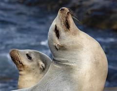 18A_1478 (Mark Ritter) Tags: seal seals macro lajolla california