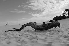DSCF1904 (Bw396) Tags: nationalpark loonse en drunense duinen dunes sanddunes brabant noord noordbrabant fujifilmx100f fujifilmxseries
