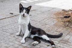 2018/07/07 11h03 chat, rue de Tunis (Rabat) 02 (Valéry Hugotte) Tags: 24105 maroc rabat canon canon5d canon5dmarkiv cat chat gatos katze quartierhassan ruedetunis rabatsalékénitra ma
