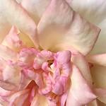 Multicolor Rose - In Explore thumbnail
