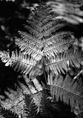 Hyons Wood (Jonathan Carr) Tags: hyonswood rural northeast blackandwhite monochrome landscape woodland mamiya645e 4x5 mediumformat fern