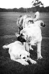New kids on the block. (Skye Auer) Tags: lgd livestock guardian dog takaskestrel kangal anatolian shepherd anatolianshepherd sheep
