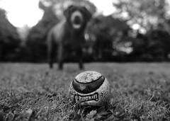 Focused on the ball (Buck777) Tags: fuji blackandwhite pet games ball chuckit dog chocolate labrador