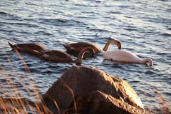 IMG_7859 (pekka.jarvelainen) Tags: joutsen swan vene auringonlasku sunset