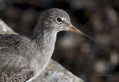 redshank (shaunmcdonagh) Tags: waders wader wildlife birds bird redshank