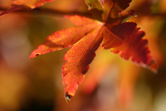 Autumn 2018 (that Geoff...) Tags: autumn autunno leaves acer garden jardin canon70d macro closeup selectivefocus colours warm japanesemaple