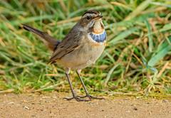 DSC6120  Bluethroat.. (jefflack Wildlife&Nature) Tags: bluethroat birds avian animal animals wildlife wildbirds wetlands wildlifephotography reeds reedbeds songbirds vagrant countryside nature