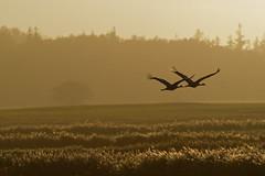 Fly away (alterahorn) Tags: kraniche cranes vögel birds vogelzug gegenlicht backlight naturfotografie günzersee altenpleen mecklenburgvorpommern ostsee balticsea olympus olympusomdem1markii mzuiko mzuiko300mm mzuiko300mmf40 mzuikomc14 teleobjektiv 300mm telekonverter dxo