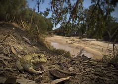 The Eastern Snapping Frog (Cyclorana novaehollandiae) (CNZdenek) Tags: wildoz wildlife australianwildlife australianfrogs frog amphibian easternsnappingfrog cyclorana cyclorananovaehollandiae herpsofaustralia herpetology australianherps cnzdenek christinanzdenek christinazdenek
