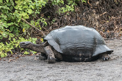First encounter (Fred Roe) Tags: nikond810 nikkorafs80400mmf4556ged nature wildlife reptile tortoise galapagosgianttortoise chelonoidisspp galapagos