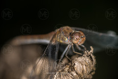 Common dragonfly sitting on the tip of a plant (Arno Enzerink) Tags: alone animalia arthropoda bug bugs common commondarter copy copyspace darter dragon dragonfly epiprocta eyes flier fly hunter insect insecta insects libelle libellulidae macro multifaceted nature negativespace odonata one plant predator quiet single sit sitting space striolatum sympetrum sympetrumstriolatum