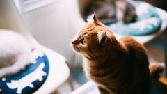 大阪。猫 (stanley yuu) Tags: 猫 大阪 日本 目 cat eyes japan osaka canon carlzeiss 5d animal