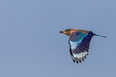 Hinduracke (Coracias benghalensis) (Matthias.Kahrs) Tags: hinduracke coracias benghalensis indian roller vögel vogel bird birds matthiaskahrs tier natur outdoor wildlife tiefenschärfe schärfentiefe oman flug canon 5d canoneos5dmarkiv canon5dmarkiv sigma 150600mm sigma150600mm sigma150600mmf563dgoshsms sigma150600mmf563dgoshsmsports matthias kahrs