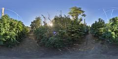 Sunrise at the Farm (Bob Dass) Tags: equirectangular nikond810 sigma15mmf28fisheye panosaurus20 aurorahdr2018 ptguipro legalcannabis