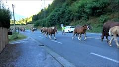 Transhumance (Ezzo33) Tags: france nouvelleaquitaine pyrénéesatlantiques laruns vallée ossau ezzo33 nammour ezzat sony rx10m3 chevaux troupeau troupeaux cheval transhumance