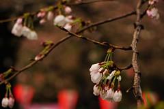 Ueno Cherry Blossoms (Nelo Hotsuma) Tags: ueno park tokyo cherry blossom festival sakura matsuri japan 上野公園 kōen 東京 日本