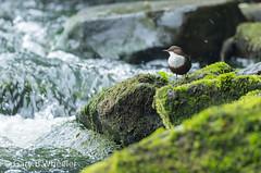 Dipper (Ponty Birder) Tags: g b wheeler garywheeler pontybirder birds wales dipper cincluscinclus