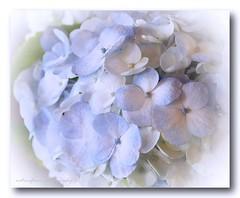 Lovely light blue. (natureflower) Tags: light blue hydrangea