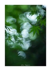 2018/9/2 - 5/15 photo by shin ikegami. - SONY ILCE‑7M2 / Lomography New Jupiter 3+ 1.5/50 L39/M (shin ikegami) Tags: マクロ macro 紅葉 sky 空 井の頭公園 吉祥寺 summer 夏 sony ilce7m2 sonyilce7m2 a7ii 50mm lomography lomoartlens newjupiter3 tokyo sonycamera photo photographer 単焦点 iso800 ndfilter light shadow 自然 nature 玉ボケ bokeh depthoffield naturephotography art photography japan earth asia