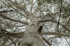 Ghost Gum (Riley-Dobe) Tags: treetrunk ghostgum gumtree australia leaves sky d500 70200mm bark