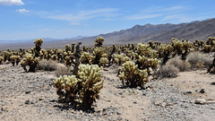 Yucca National Park- CA (xalub33) Tags: desert yucca landscape paysage