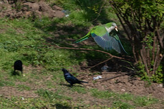 monk parakeet stealing food from crow (dgoldenberg52) Tags: argentina buenos aires birds south america city urban