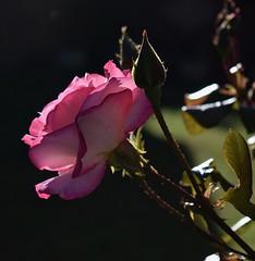 Rose #1 (MJ Harbey) Tags: rose flower rosa pinkrose sunlight nikon d3300 nikond3300 buds leaves petals rosebuds