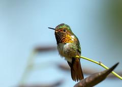 IMG_0615 Scintillant Humming (suebmtl) Tags: bird birding chiriquiprovince panama fincalerida hummingbird scintillanthummingbird selasphorusscintilla