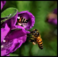 ComeOnNow (VegasBnR) Tags: nikon sigma nature nateure bee flying flowers gimp 7200 vegasbnr geo