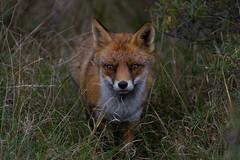 Red fox Vulpes vulpes (rode vos) (moniquedoon) Tags: fox vos fozes wildlife wild wildlifephotographty autumn nature natuur animal mammal