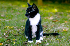 _DSC0353 (Raphistole) Tags: d7000 nikon cat chat chaton kitten black white pet eyes yellow 50mm
