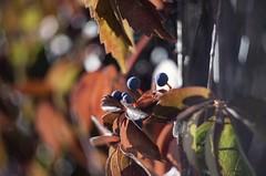 Wild wine - Helios 44-3 58 mm f/2 M42 (horschte68) Tags: helios44358mmf2m42 wildwine autumn outdoor aussen bokeh closeup colors colours fall herbst pentaxk50 primelens manualfocus wideopen nature wilderwein dof depthoffield germany deutschland swirlybokeh