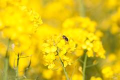 _DSC1004 (gael.lebrun56) Tags: fleur colza rape beez flower macro insect