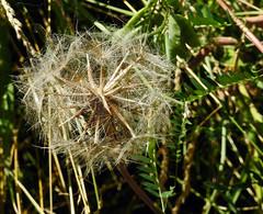 Seed - Semence (P9_DSCN8579-1PE-20180719) (Michel Sansfacon) Tags: seed semence nikond7200 sigma150600mmsports parcnationaldesîlesdeboucherville parcsquébec flore