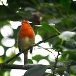A Robin singing thumbnail