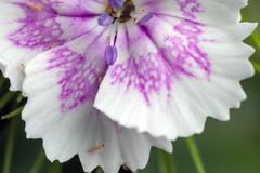 Surprise Inhabitants - _TNY_4868 (Calle Söderberg) Tags: macro canon canoneos5dmarkii canonef100mmf28usmmacro 5d2 canon5dmkii canon5dmarkii flash meike mk300 glassdiffusor raynox dcr250 neoptera thysanoptera thrips trips maidenpink dianthus deltoides flower white purple caryophyllaceae backnejlika ängsnejlika inhabitants f22