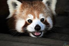 Red Panda (88) (Juergen__S) Tags: belgium belgien brugelette belgique park pairidaiza panda birds flying bear redpanda owl sky trees snowleopard macaque greatphotographers