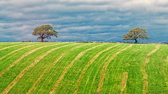 The last cut (Geoffrey Tibbenham) Tags: bentham lancashire low fields trees grass green sky landscape openspace outdoors overcast clouds countryside countryfile fuji xf90mm f2 xt1 patterns colour