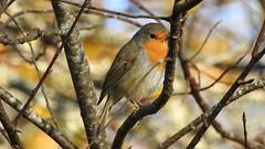 Robin (Erithacus rubecula) (eerokiuru) Tags: robin erithacusrubecula rotkelchen punarind bird birdvideo p900 nikoncoolpixp900
