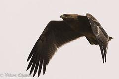Indian Spotted Eagle. (Vikas.B.Chavan) Tags: indianspottedeagle clangahastata nikond7100 afsnikkor300mmf4difed