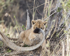 Playing with Mom's Tail (Michael Zahra) Tags: lion lions lioness africa african tanzania safari travel ecology tourism wildlife wilderness landscape savannah conservation predator outdoors game prey sun afternoon cub baby play
